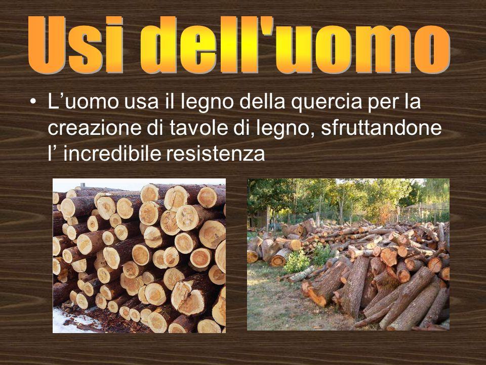 Luomo usa il legno della quercia per la creazione di tavole di legno, sfruttandone l incredibile resistenza