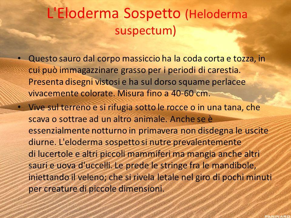 L'Eloderma Sospetto (Heloderma suspectum) Questo sauro dal corpo massiccio ha la coda corta e tozza, in cui può immagazzinare grasso per i periodi di