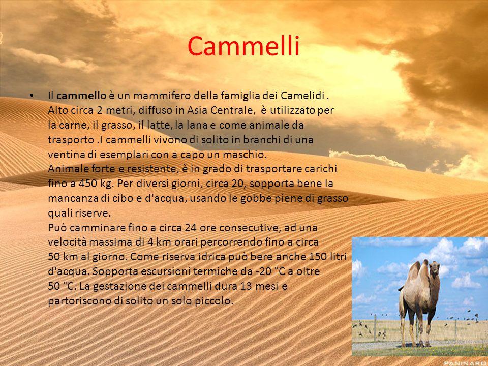 Cammelli Il cammello è un mammifero della famiglia dei Camelidi. Alto circa 2 metri, diffuso in Asia Centrale, è utilizzato per la carne, il grasso, i