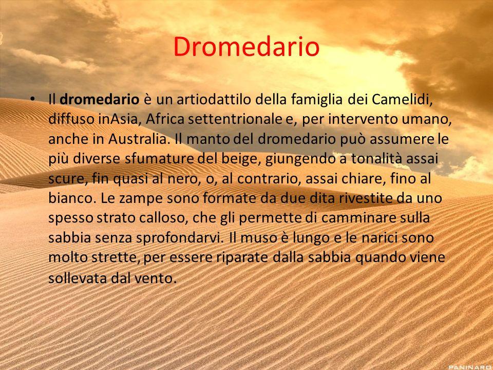 Dromedario Il dromedario è un artiodattilo della famiglia dei Camelidi, diffuso inAsia, Africa settentrionale e, per intervento umano, anche in Austra