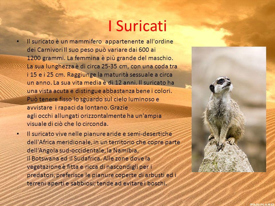 I Suricati Il suricato è un mammifero appartenente all'ordine dei Carnivori Il suo peso può variare dai 600 ai 1200 grammi. La femmina è più grande de