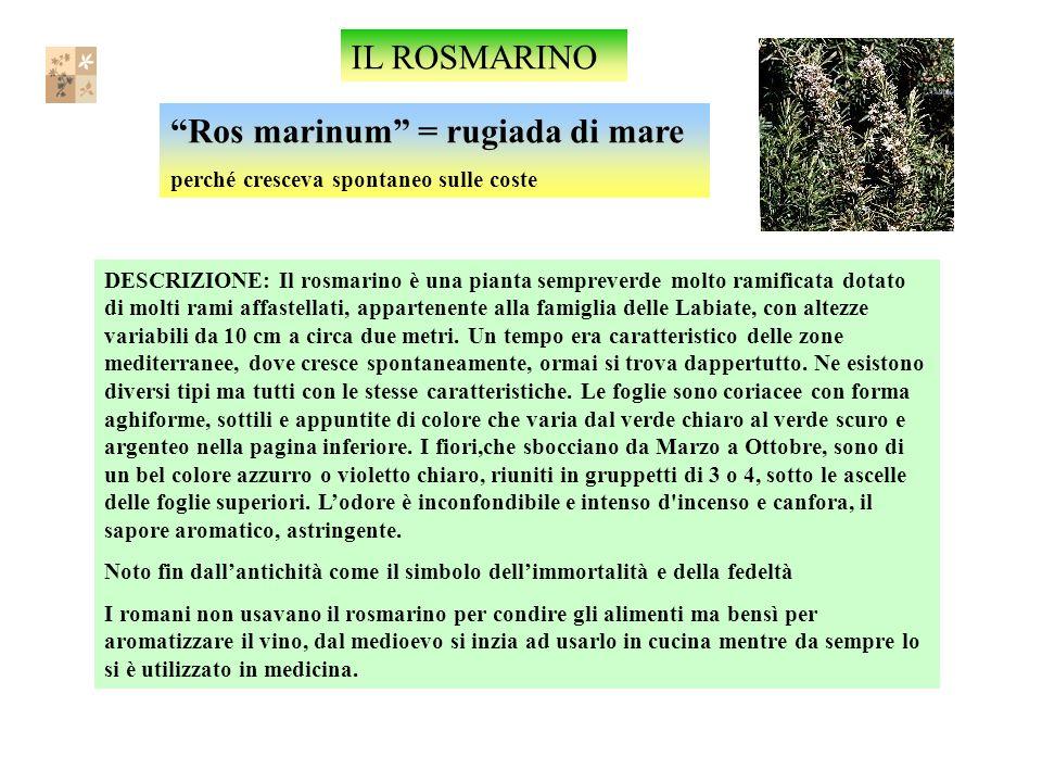 IL ROSMARINO Ros marinum = rugiada di mare perché cresceva spontaneo sulle coste DESCRIZIONE: Il rosmarino è una pianta sempreverde molto ramificata dotato di molti rami affastellati, appartenente alla famiglia delle Labiate, con altezze variabili da 10 cm a circa due metri.