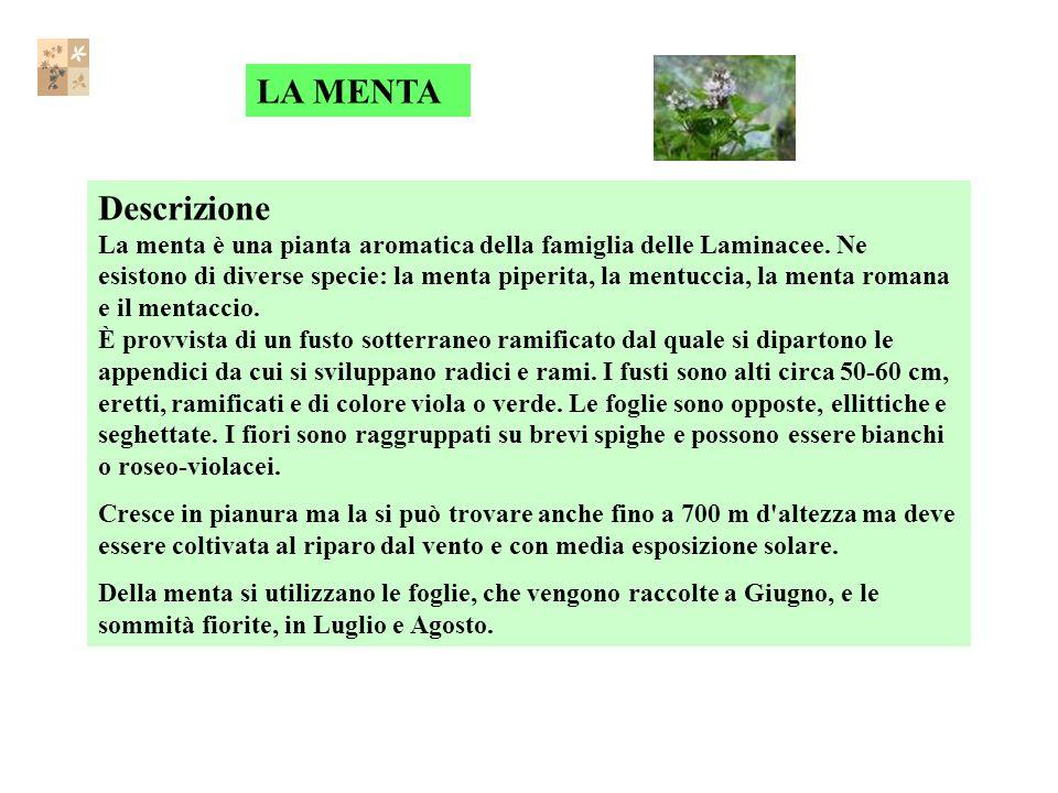Descrizione La menta è una pianta aromatica della famiglia delle Laminacee.