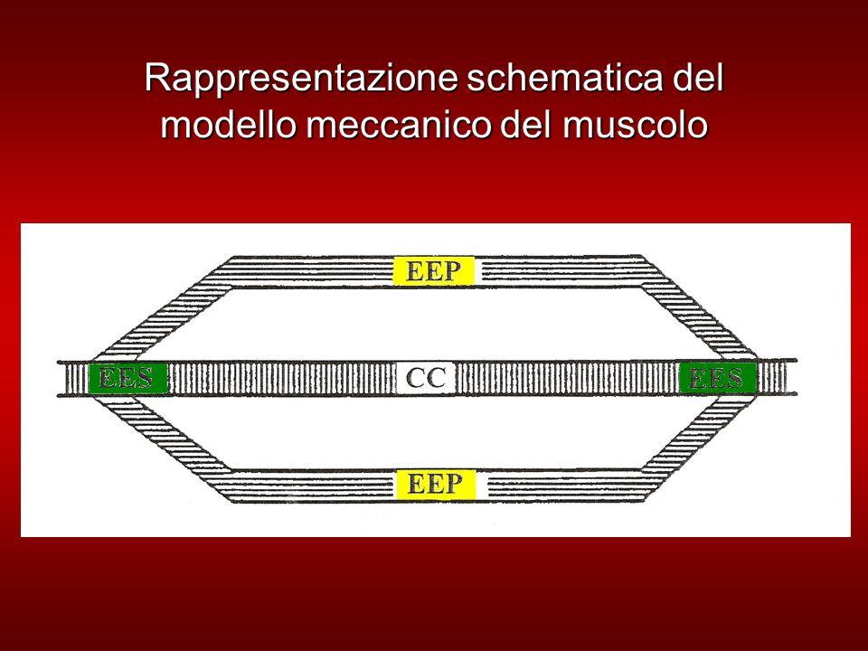 Rappresentazione schematica del modello meccanico del muscolo
