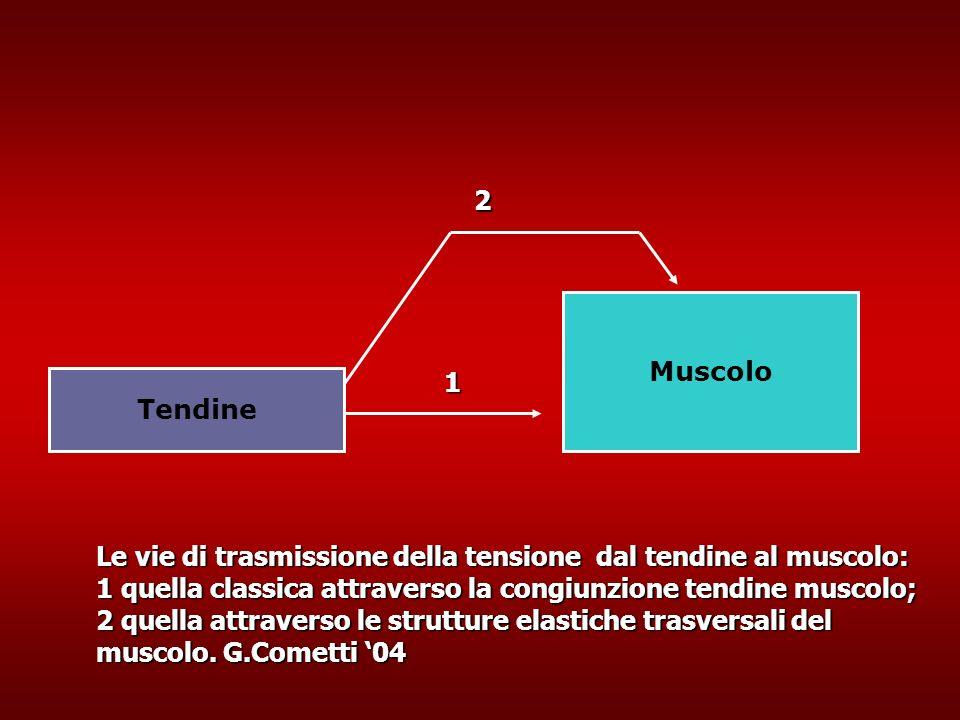 Muscolo Tendine Le vie di trasmissione della tensione dal tendine al muscolo: 1 quella classica attraverso la congiunzione tendine muscolo; 2 quella attraverso le strutture elastiche trasversali del muscolo.