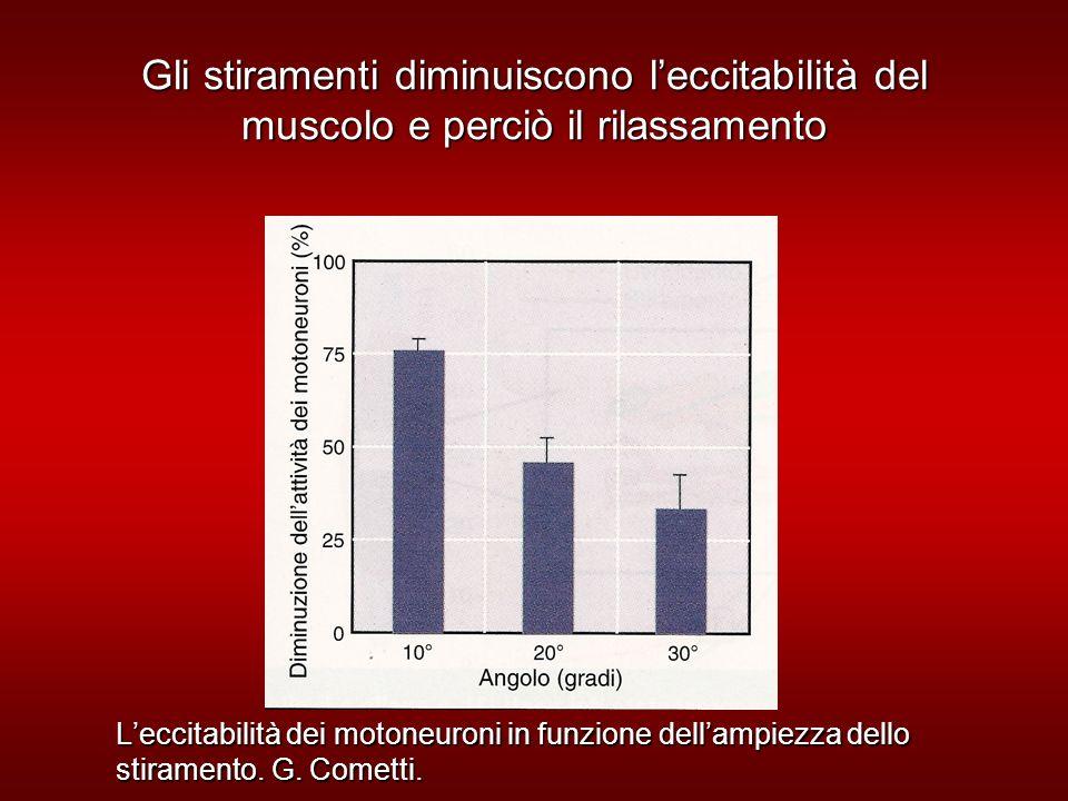 Gli stiramenti diminuiscono leccitabilità del muscolo e perciò il rilassamento Leccitabilità dei motoneuroni in funzione dellampiezza dello stiramento.
