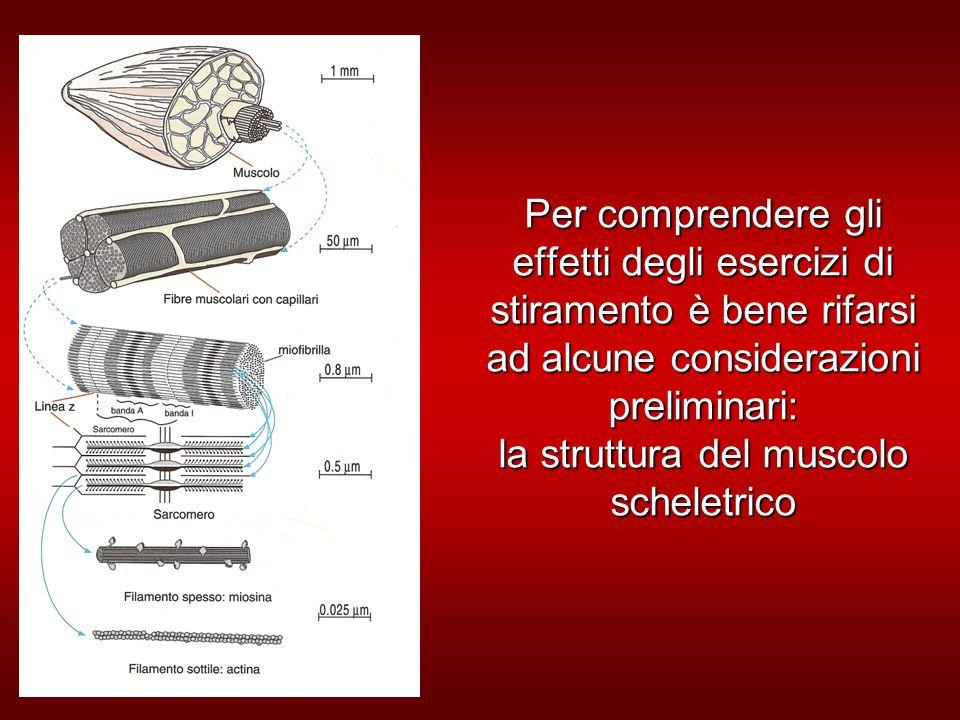Per comprendere gli effetti degli esercizi di stiramento è bene rifarsi ad alcune considerazioni preliminari: la struttura del muscolo scheletrico