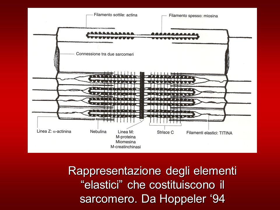 Rappresentazione degli elementi elastici che costituiscono il sarcomero. Da Hoppeler 94