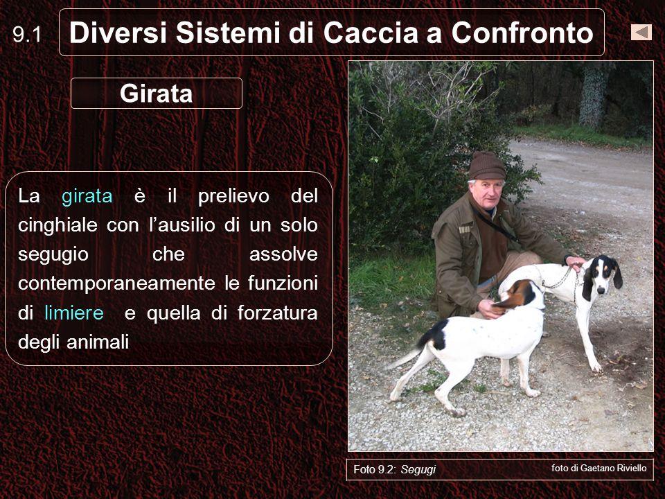 9.2 Diversi Sistemi di Caccia a Confronto Il cane limiere (cane legato) è quello che lavora fino al ritrovamento del covo, che segnala la traccia dei cinghiali nella zona di rimessa.