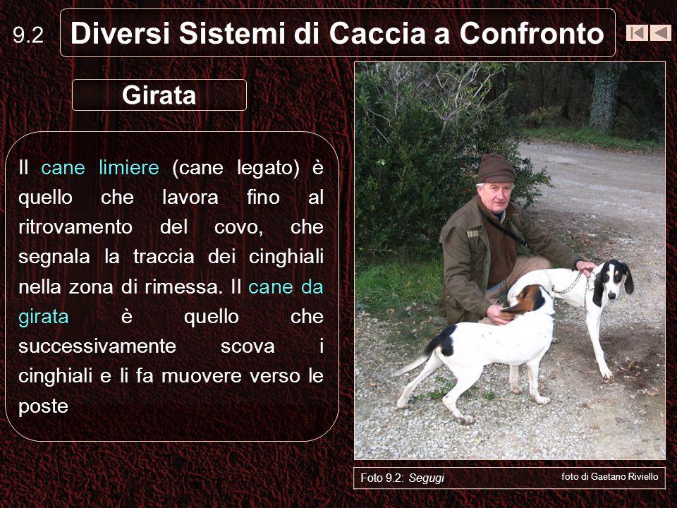9.2 Diversi Sistemi di Caccia a Confronto Il cane limiere (cane legato) è quello che lavora fino al ritrovamento del covo, che segnala la traccia dei