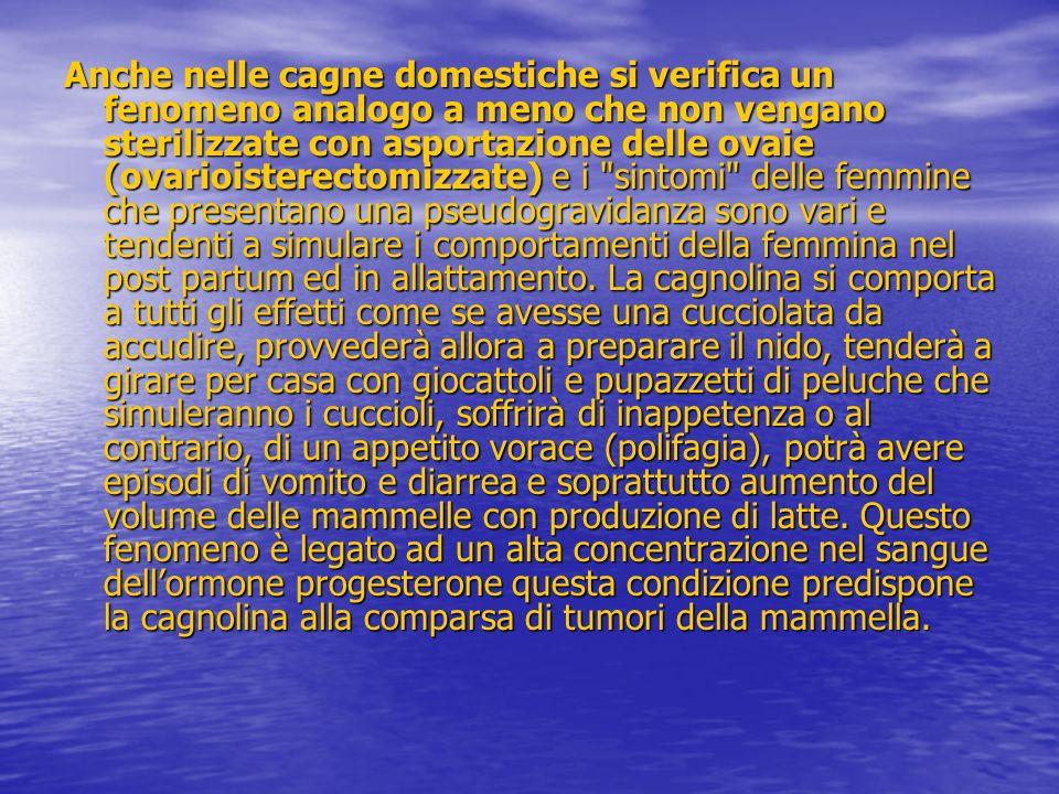 Anche nelle cagne domestiche si verifica un fenomeno analogo a meno che non vengano sterilizzate con asportazione delle ovaie (ovarioisterectomizzate)