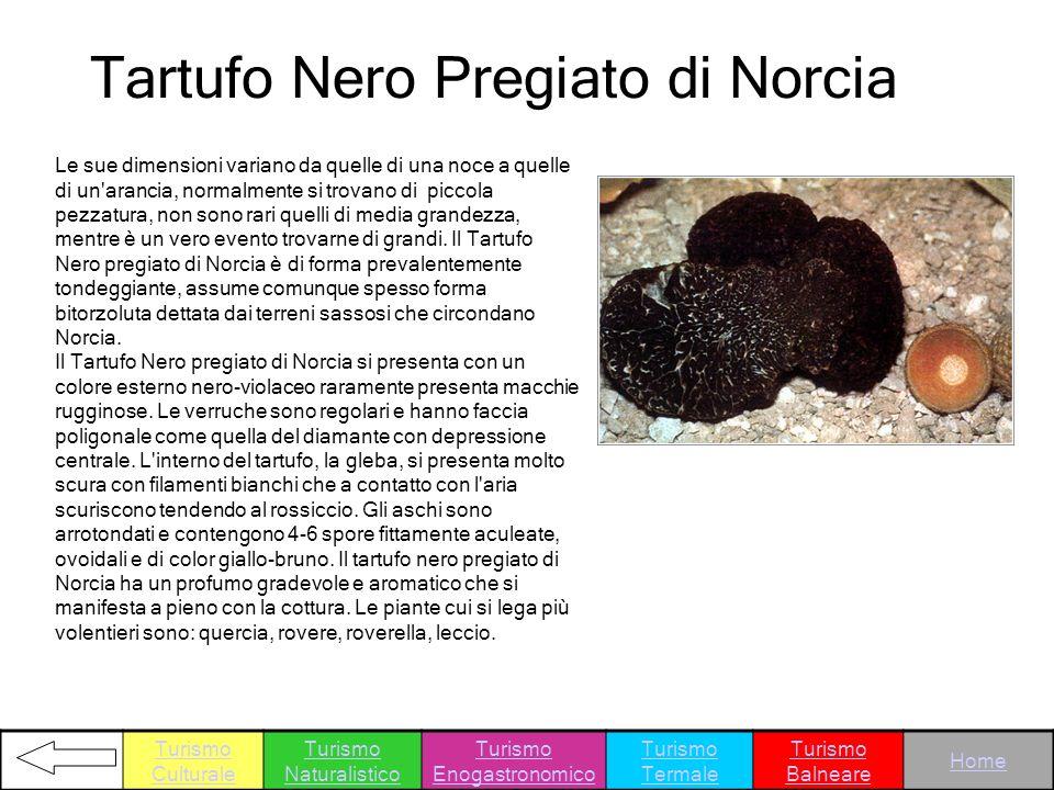 Tartufo Nero Pregiato di Norcia Le sue dimensioni variano da quelle di una noce a quelle di un'arancia, normalmente si trovano di piccola pezzatura, n
