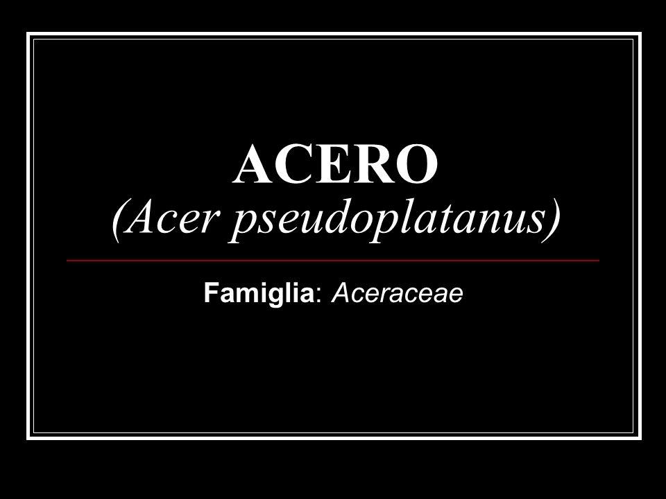 ACERO (Acer pseudoplatanus) Famiglia: Aceraceae