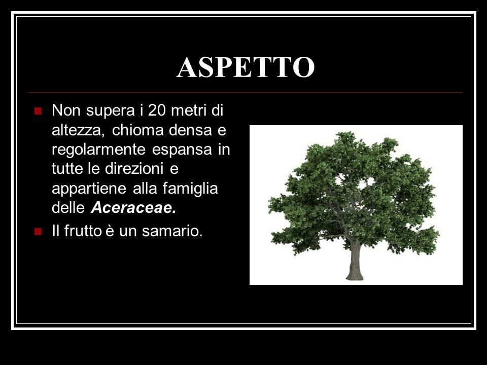 ASPETTO Non supera i 20 metri di altezza, chioma densa e regolarmente espansa in tutte le direzioni e appartiene alla famiglia delle Aceraceae. Il fru