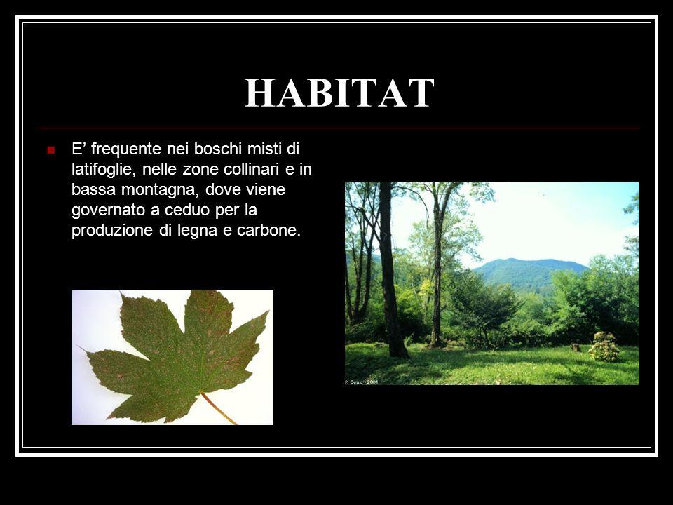 HABITAT E frequente nei boschi misti di latifoglie, nelle zone collinari e in bassa montagna, dove viene governato a ceduo per la produzione di legna