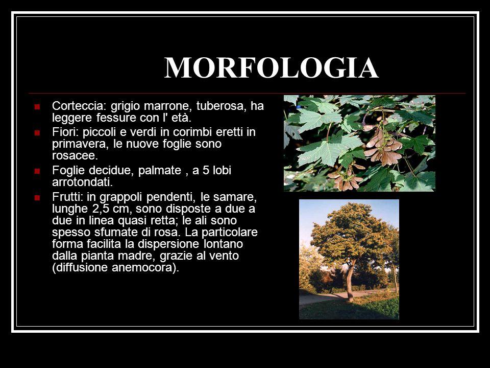 MORFOLOGIA Corteccia: grigio marrone, tuberosa, ha leggere fessure con l' età. Fiori: piccoli e verdi in corimbi eretti in primavera, le nuove foglie