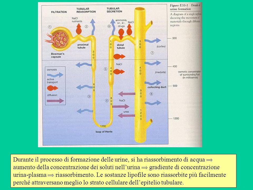Durante il processo di formazione delle urine, si ha riassorbimento di acqua aumento della concentrazione dei soluti nellurina gradiente di concentraz