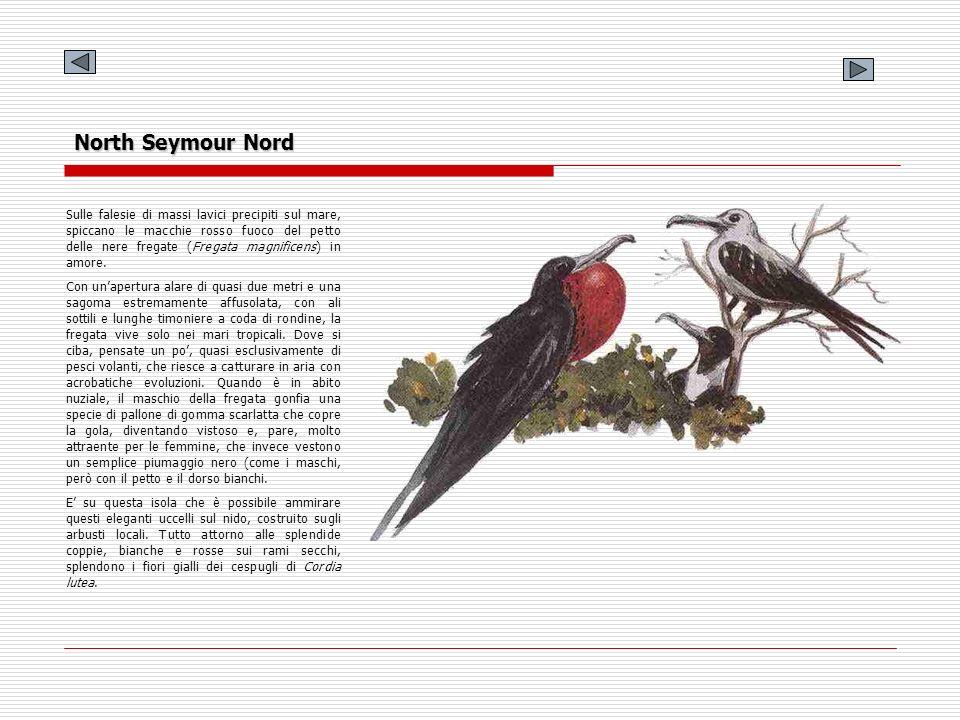 North Seymour Nord Sulle falesie di massi lavici precipiti sul mare, spiccano le macchie rosso fuoco del petto delle nere fregate (Fregata magnificens
