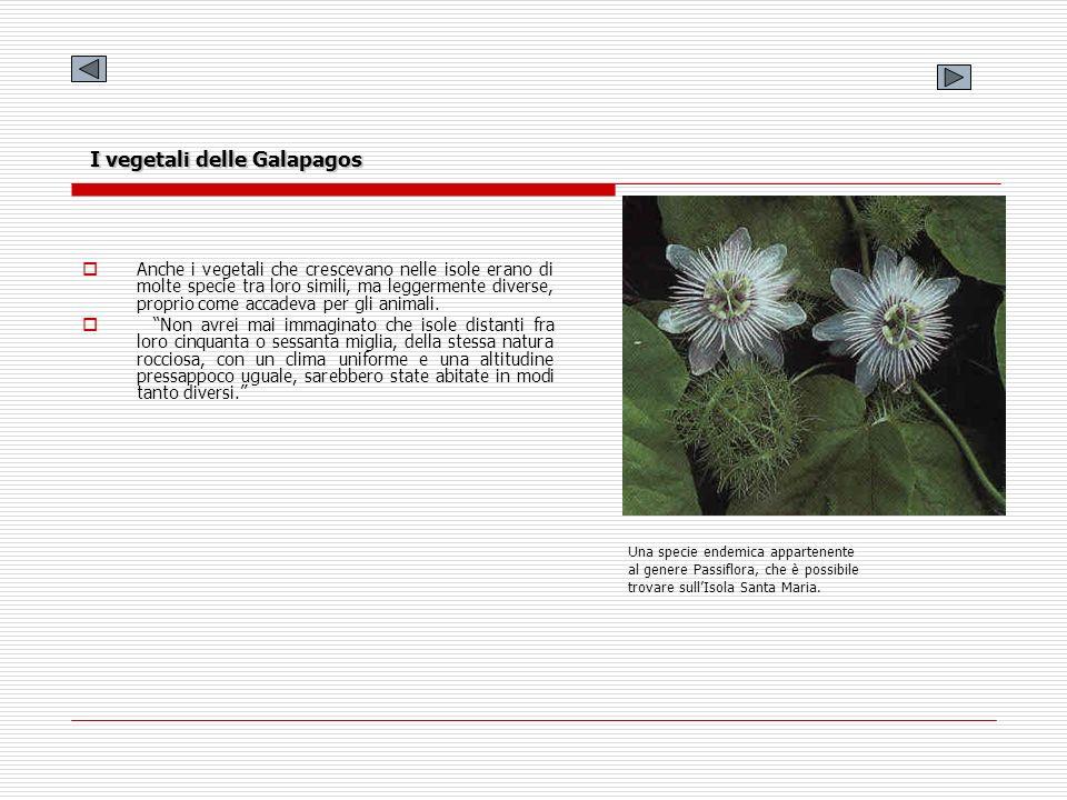 I vegetali delle Galapagos Anche i vegetali che crescevano nelle isole erano di molte specie tra loro simili, ma leggermente diverse, proprio come acc