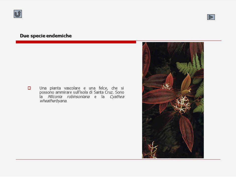 Una pianta vascolare e una felce, che si possono ammirare sullisola di Santa Cruz. Sono la Milconia robinsoniana e la Cyathea wheatherbyana. Due speci