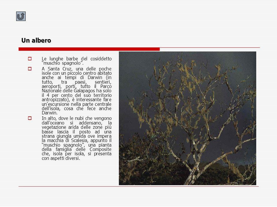Un albero Le lunghe barbe del cosiddetto muschio spagnolo. A Santa Cruz, una delle poche isole con un piccolo centro abitato anche ai tempi di Darwin