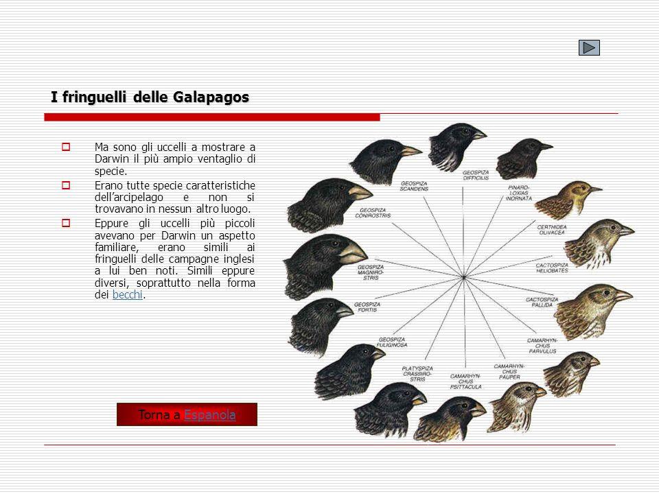 I fringuelli delle Galapagos Ma sono gli uccelli a mostrare a Darwin il più ampio ventaglio di specie. Erano tutte specie caratteristiche dellarcipela