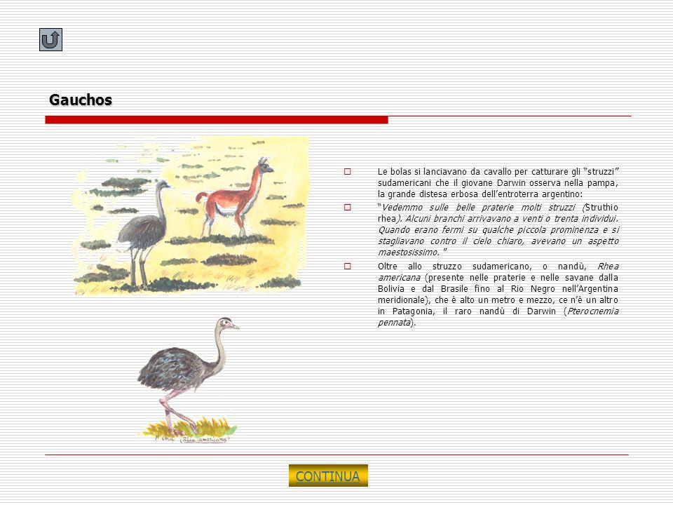 Gauchos Le bolas si lanciavano da cavallo per catturare gli struzzi sudamericani che il giovane Darwin osserva nella pampa, la grande distesa erbosa d