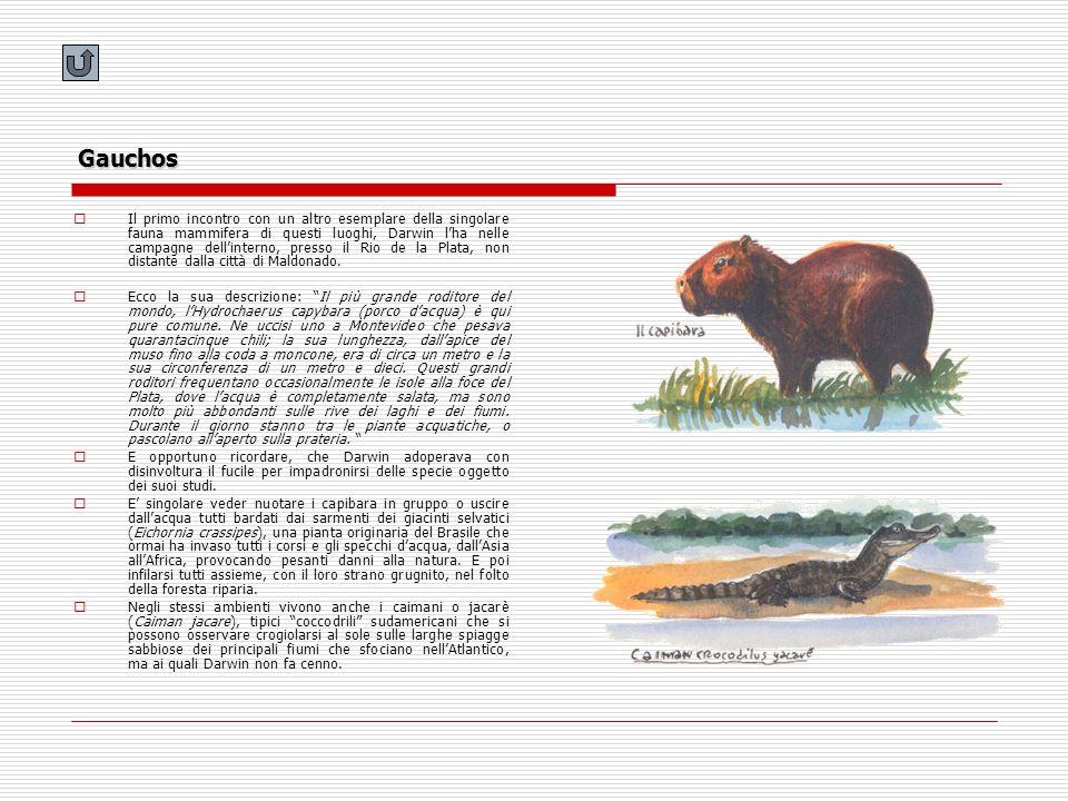 Gauchos Il primo incontro con un altro esemplare della singolare fauna mammifera di questi luoghi, Darwin lha nelle campagne dellinterno, presso il Ri