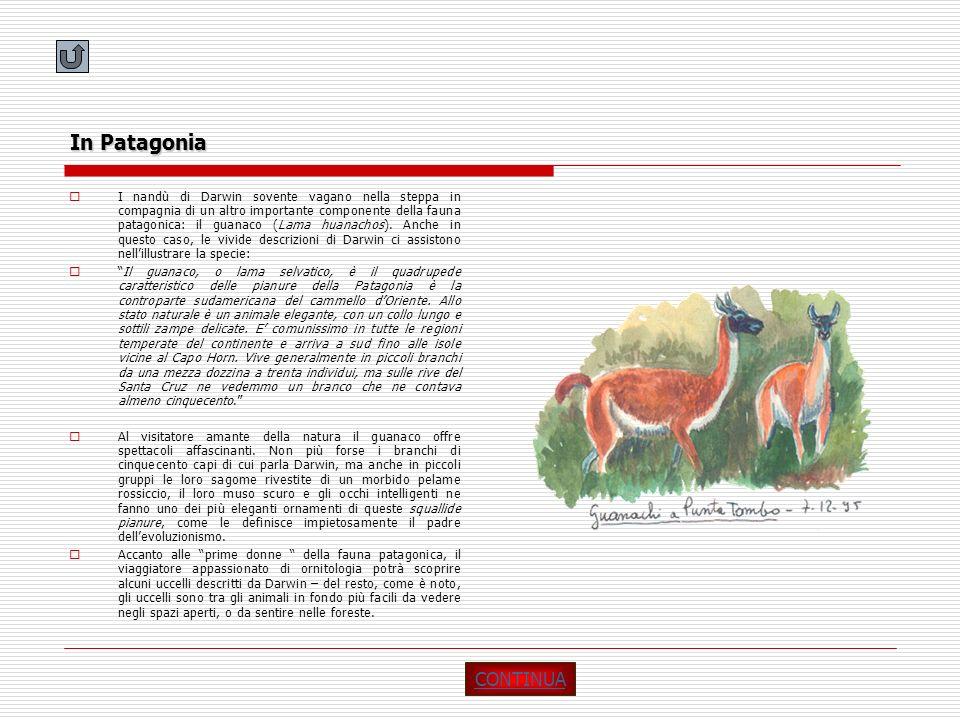 In Patagonia I nandù di Darwin sovente vagano nella steppa in compagnia di un altro importante componente della fauna patagonica: il guanaco (Lama hua