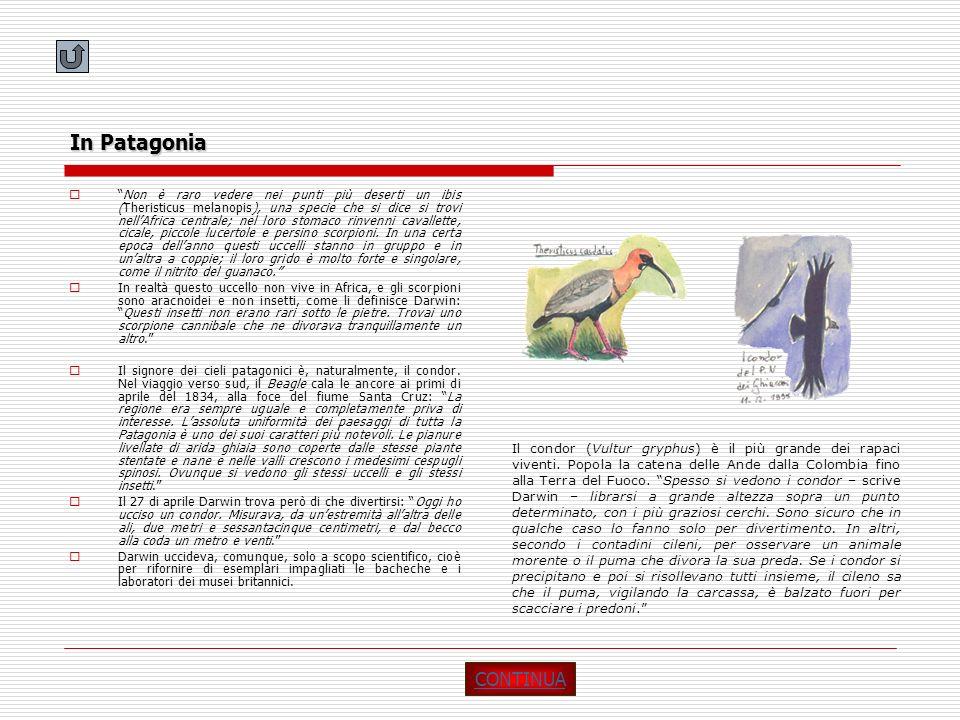 In Patagonia Non è raro vedere nei punti più deserti un ibis (Theristicus melanopis), una specie che si dice si trovi nellAfrica centrale; nel loro st