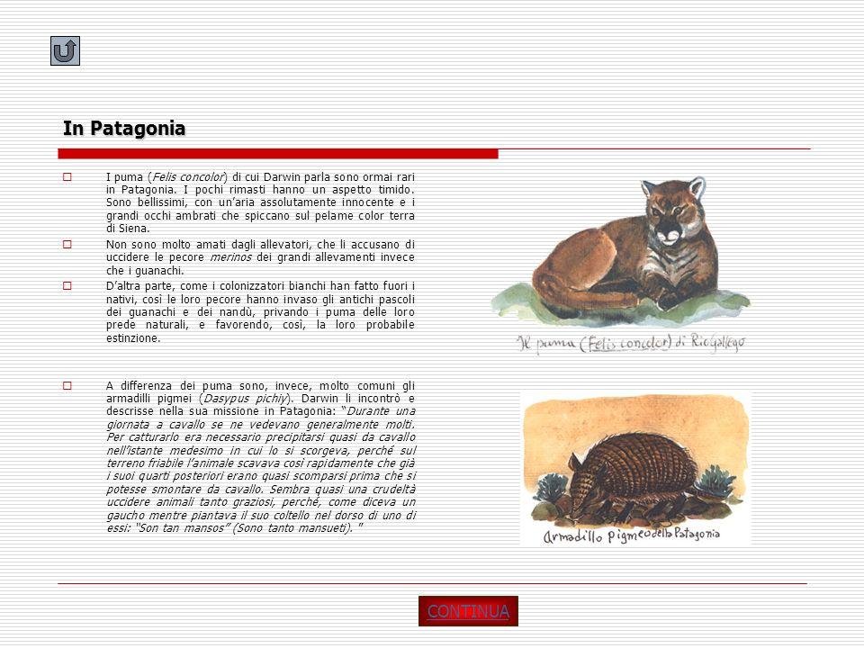 In Patagonia I puma (Felis concolor) di cui Darwin parla sono ormai rari in Patagonia. I pochi rimasti hanno un aspetto timido. Sono bellissimi, con u
