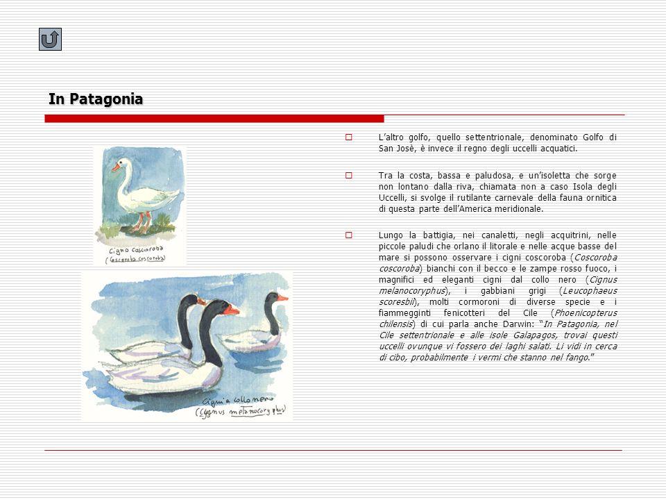In Patagonia Laltro golfo, quello settentrionale, denominato Golfo di San Josè, è invece il regno degli uccelli acquatici. Tra la costa, bassa e palud