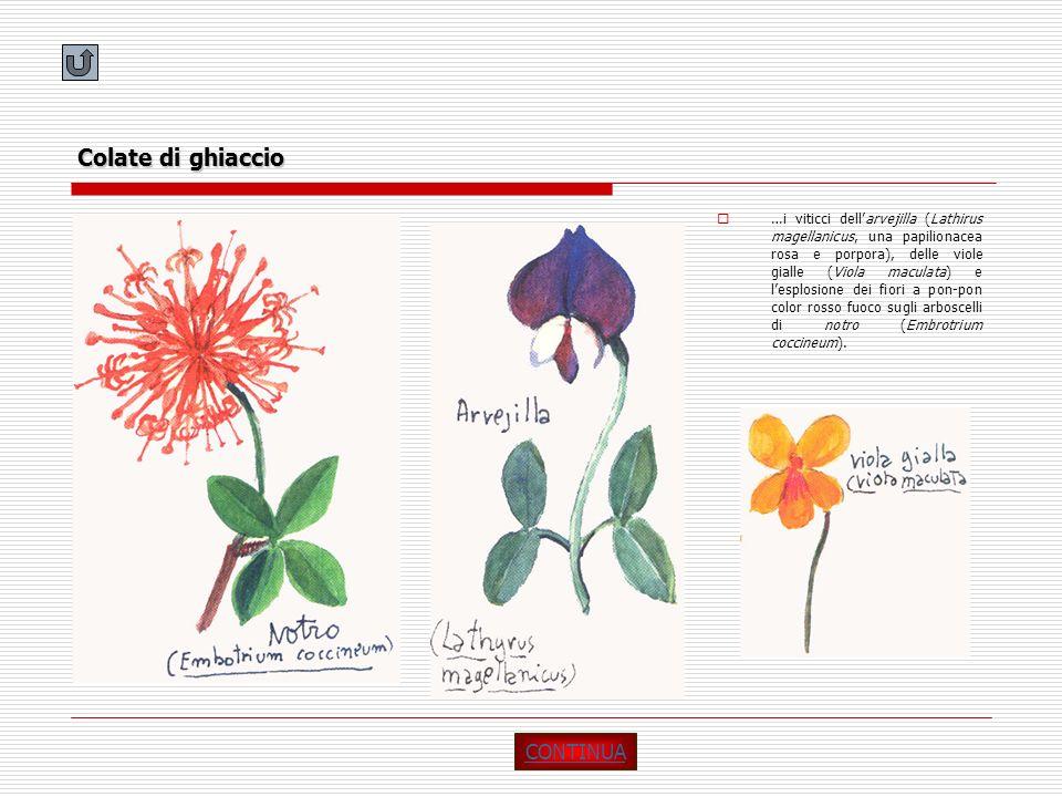 Colate di ghiaccio …i viticci dellarvejilla (Lathirus magellanicus, una papilionacea rosa e porpora), delle viole gialle (Viola maculata) e lesplosion