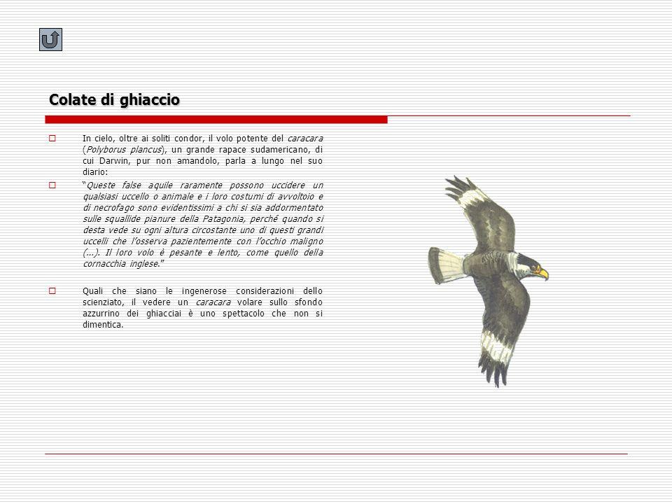 Colate di ghiaccio In cielo, oltre ai soliti condor, il volo potente del caracara (Polyborus plancus), un grande rapace sudamericano, di cui Darwin, p