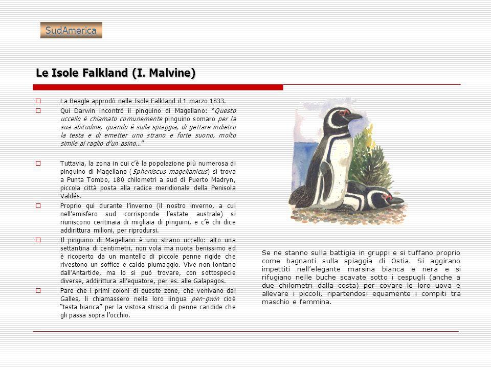 Le Isole Falkland (I. Malvine) La Beagle approdò nelle Isole Falkland il 1 marzo 1833. Qui Darwin incontrò il pinguino di Magellano: Questo uccello è