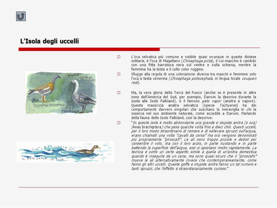 LIsola degli uccelli Loca selvatica più comune e visibile quasi ovunque in queste distese solitarie, è loca di Magellano (Chloephaga picta), il cui ma