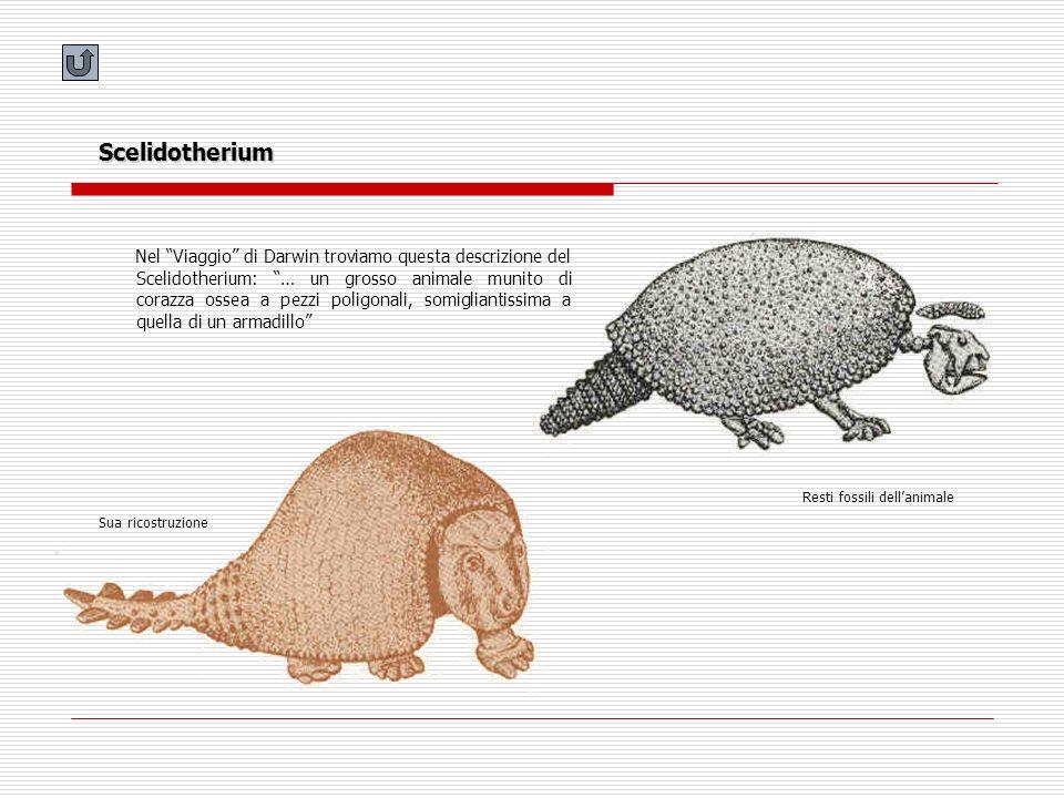 Scelidotherium Nel Viaggio di Darwin troviamo questa descrizione del Scelidotherium: … un grosso animale munito di corazza ossea a pezzi poligonali, s