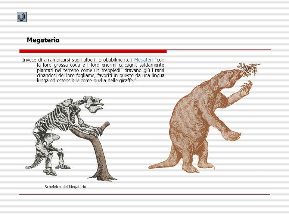Megaterio Invece di arrampicarsi sugli alberi, probabilmente i Megateri con la loro grossa coda e i loro enormi calcagni, saldamente piantati nel terr