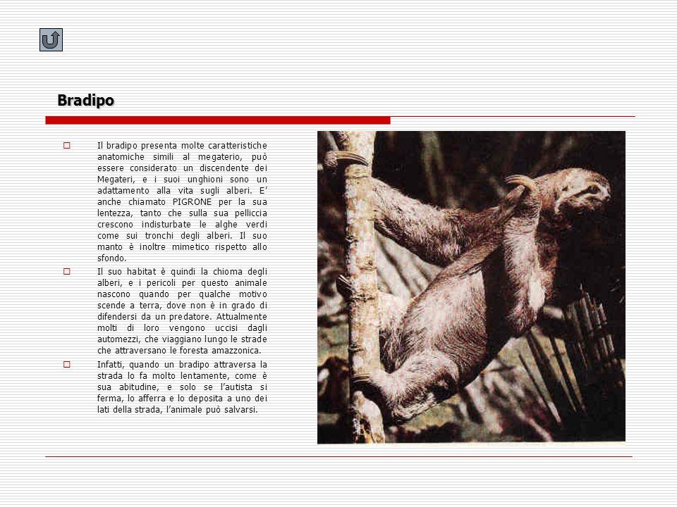 Bradipo Il bradipo presenta molte caratteristiche anatomiche simili al megaterio, può essere considerato un discendente dei Megateri, e i suoi unghion