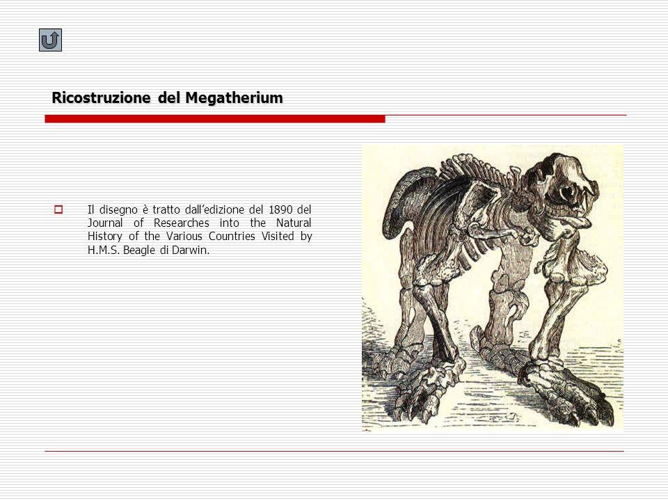 Ricostruzione del Megatherium Il disegno è tratto dalledizione del 1890 del Journal of Researches into the Natural History of the Various Countries Vi