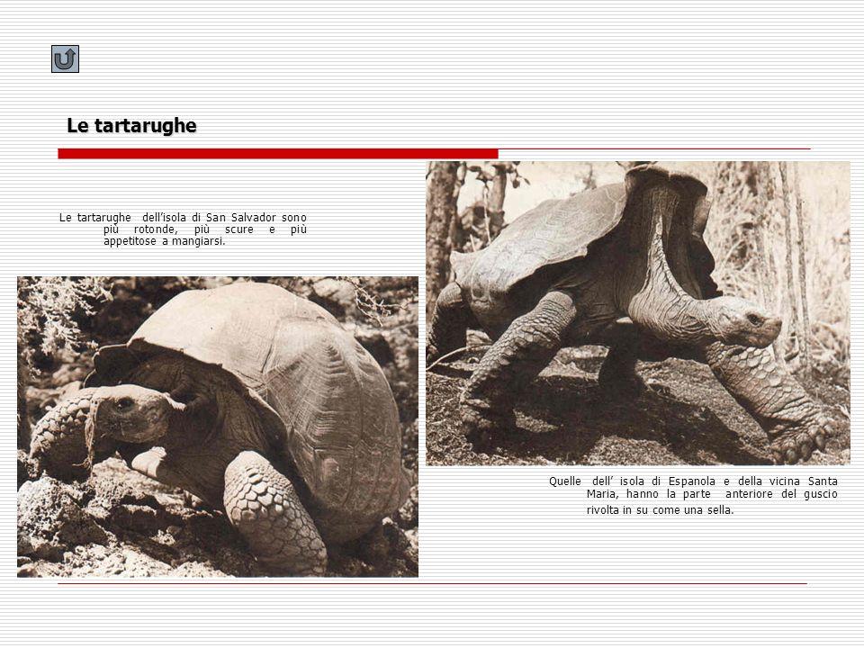 Le tartarughe Quelle dell isola di Espanola e della vicina Santa Maria, hanno la parte anteriore del guscio rivolta in su come una sella. Le tartarugh