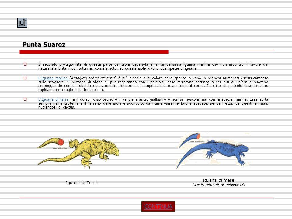 Punta Suarez Il secondo protagonista di questa parte dellIsola Espanola è la famosissima iguana marina che non incontrò il favore del naturalista brit