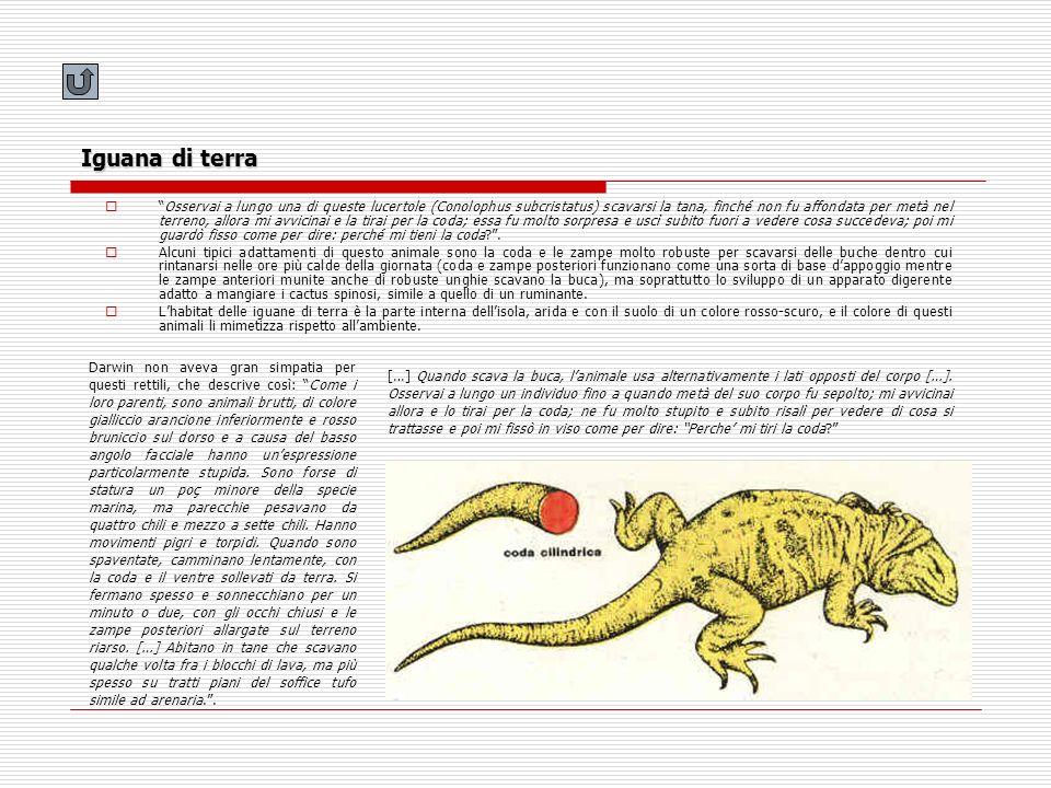 Iguana di terra Osservai a lungo una di queste lucertole (Conolophus subcristatus) scavarsi la tana, finché non fu affondata per metà nel terreno, all
