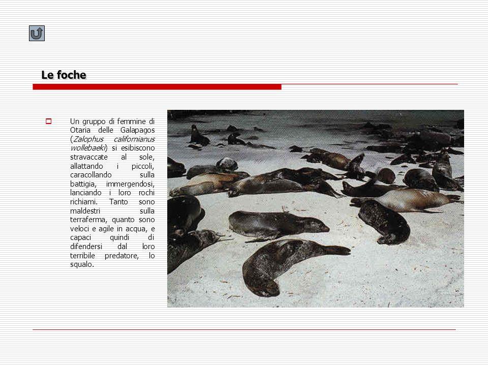 Le foche Un gruppo di femmine di Otaria delle Galapagos (Zalophus californianus wollebaeki) si esibiscono stravaccate al sole, allattando i piccoli, c