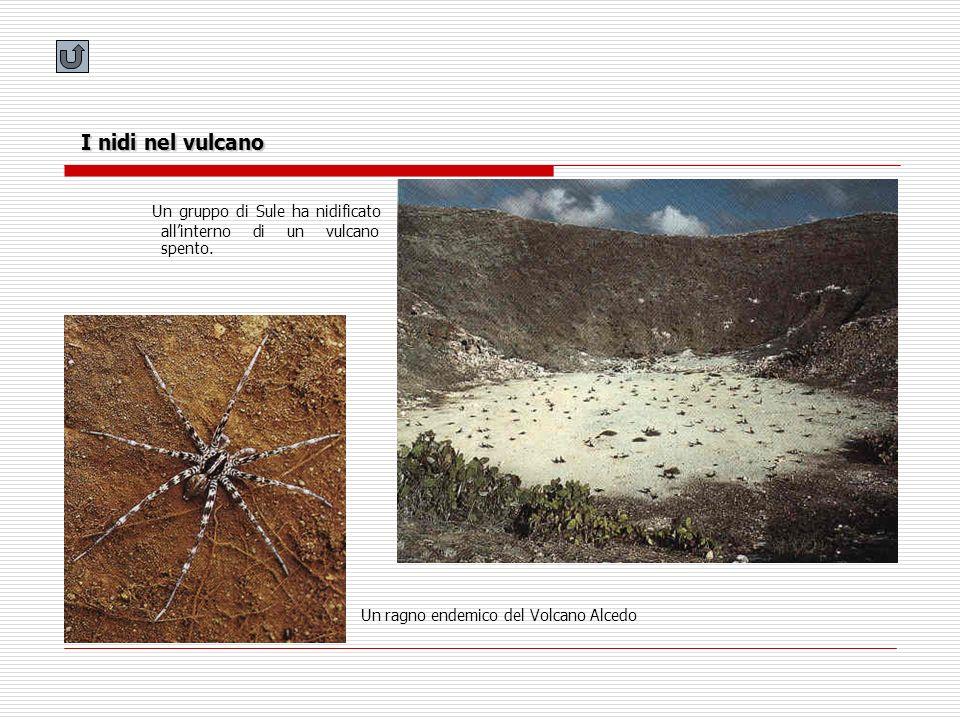 I nidi nel vulcano Un gruppo di Sule ha nidificato allinterno di un vulcano spento. Un ragno endemico del Volcano Alcedo