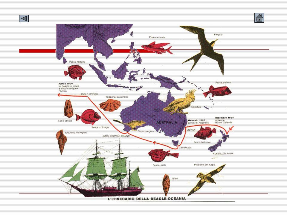 Il metodo di lavoro Ad ogni approdo, situazioni geografiche diverse, caratteristici esseri viventi, si presentavano allavida curiosità di Darwin.approdo Tuttavia nei suoi taccuini e nel suo Diario Viaggio di un naturalista intorno al mondo dava sempre descrizioni particolareggiate delle osservazioni fatte, anche se compiute con strumenti semplici, inoltre stava molto attento a etichettare ogni campione con un numero che fosse poi lo stesso riportato sia nellelenco dei campioni sia nelle sue note.taccuini Oltre a fare osservazioni e a raccogliere campioni, Darwin durante le lunghe ore di navigazione, avanzava congetture sullorigine di quello che più lo aveva colpito.