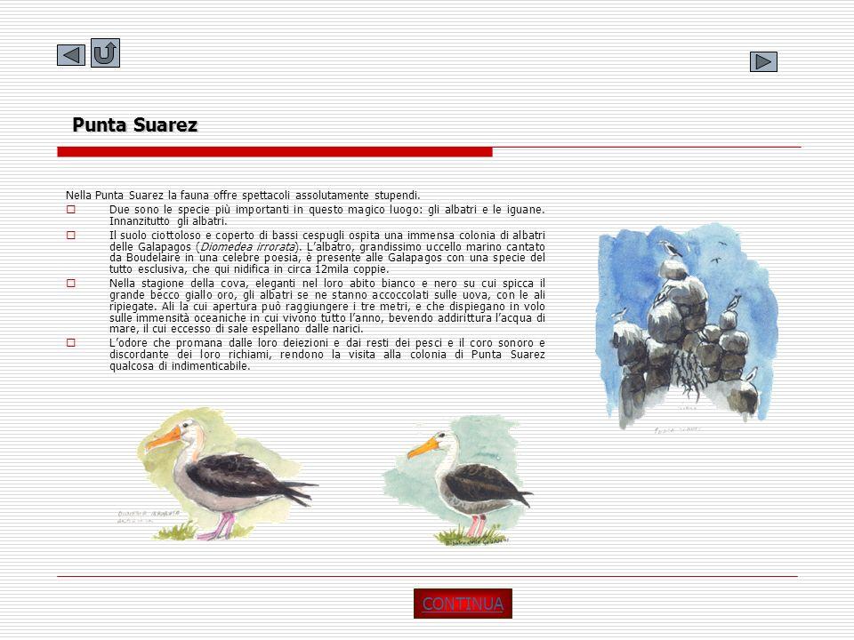 Punta Suarez Nella Punta Suarez la fauna offre spettacoli assolutamente stupendi. Due sono le specie più importanti in questo magico luogo: gli albatr