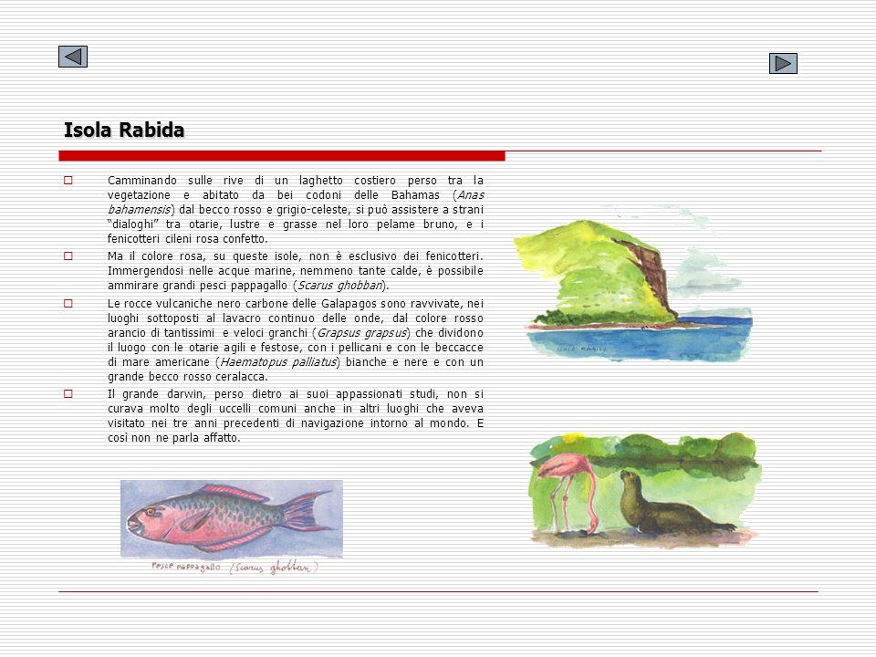 Isola Rabida Camminando sulle rive di un laghetto costiero perso tra la vegetazione e abitato da bei codoni delle Bahamas (Anas bahamensis) dal becco
