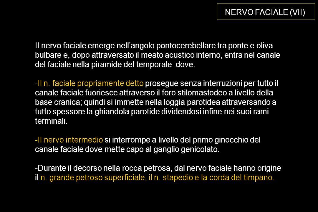 NERVO FACIALE (VII) Il nervo faciale emerge nellangolo pontocerebellare tra ponte e oliva bulbare e, dopo attraversato il meato acustico interno, entra nel canale del faciale nella piramide del temporale dove: -Il n.