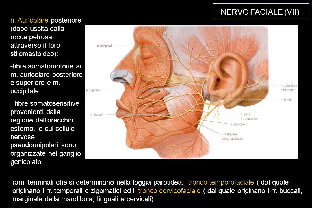 NERVO FACIALE (VII) rami terminali che si determinano nella loggia parotidea: tronco temporofaciale ( dal quale originano i rr.